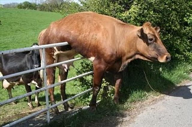 funny stuck cow